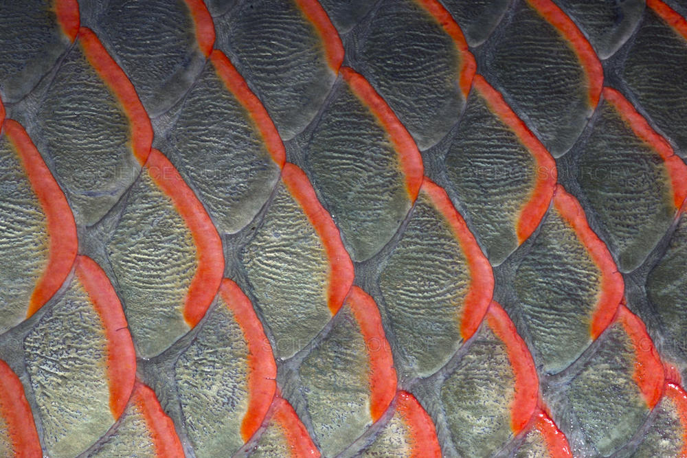 Close up of pirarucu fish scale