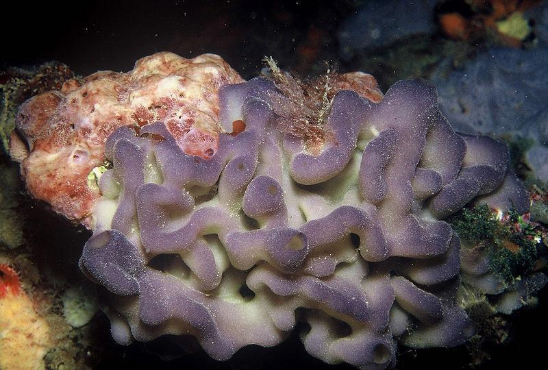 A homosclerophomorpha sponge
